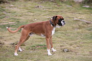 Mark Severn Metal Prints - Boxer Dog Metal Print by Mark Severn