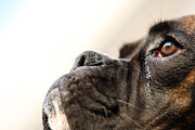 Boxer Dog Photos - Boxer dogs head by Jana Behr