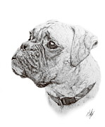 Boxer Dog Drawings Framed Prints - Boxer Framed Print by Hannah Taylor