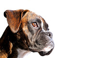 Boxer Dog Photos - Boxer by Jana Behr