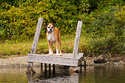 Boxer Posters - Boxer on Lake Dock Poster by Stephanie McDowell