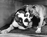 ME Browning - Boxer Playing with Puppy