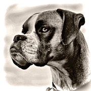 Boxer Art - Boxer Profile by Lana Trussell