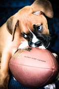 Boxer Puppy Cuteness Print by Peggy  Franz