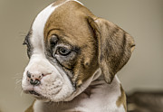 Boxer Puppy Print by Tony Moran