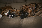 Brindle Digital Art Prints - Boxers at Rest Print by Suzi Nelson