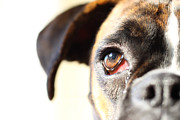Boxer Photo Framed Prints - Boxers eye Framed Print by Jana Behr