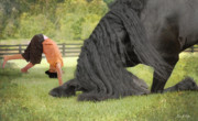 Friesian Photos - Boys will be Boys by Fran J Scott