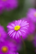 Asteraceae Prints - Brachyscome Iberidifolia Magenta Delight Flower Print by Tim Gainey