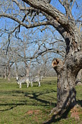 Brahma Bull Prints - Brahma Bulls under Pecan Trees Print by KC Taffinder