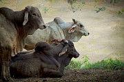 Brahma Bulls Framed Prints - Brahman Cattle Framed Print by Peggy Collins