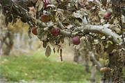Cultivation Framed Prints - Branch of an Apple Tree Framed Print by Juli Scalzi
