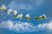 Apple Blossoms Prints - Branch of an apple tree with white blossoms and blue sky Print by Matthias Hauser