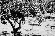 Unripe Prints - branches of green unripened oranges on an orange tree bush growing in a garden Tenerife Canary Islands Spain Print by Joe Fox