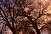 Sunset Greeting Cards Posters - Branching Out at Sunset Poster by James Bo Insogna