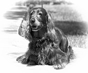 Setters Framed Prints - Brandy the Irish Setter BW Framed Print by Tessa Fairey
