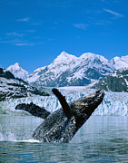 John Hyde - Breaching Humpback and...