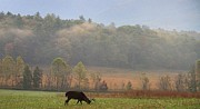 Gatlinburg Tennessee Prints - Breakfast In Cades Cove Print by Dan Sproul