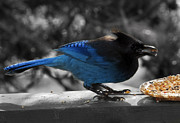 Stellar Jay Posters - Breakfast on the Patio Poster by Barbara  White