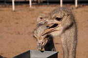 Ostrich Photos - Breakfast time - Hap... by Martina Thompson