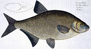 Bream Print by Andreas Ludwig Kruger
