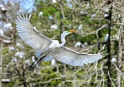 Kathy Baccari - Breeding Great Egret In...
