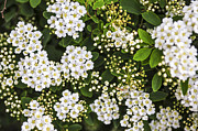 Shrubs Prints - Bridal wreath flowers Print by Elena Elisseeva