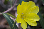 Green Leafs Digital Art Posters - Bridges Evening Primrose Poster by Neal Hebert