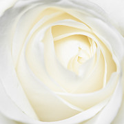 Rose Petals Prints - Bright and soft white and yellow rose petals Print by Matthias Hauser