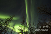 Bare Trees Posters - Bright Aurora Borealis, Lake Laberge Poster by Philip Hart
