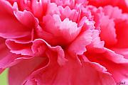 Signed Photo Posters - Bright Carnation Poster by Carol Lynch