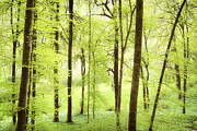 Green Forest Prints - Bright green forest in spring with beautiful soft light  Print by Matthias Hauser