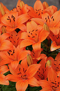 Lilies Art - Bright lilies 2 by Carol Lynch