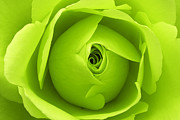 Lime Digital Art - Bright Lime Green Rose Flower by Natalie Kinnear