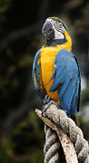 Tropical Photographs Photos - Bright Macaw by David Millenheft