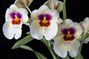 Row Posters - Bright Miltonia Orchids Poster by Garry Gay