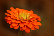 Rosanne Jordan - Bright Orange Zinnia