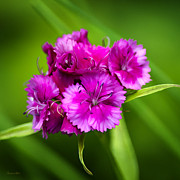 Bright Pink Prints - Bright Pink Dianthus Flowers Print by Christina Rollo