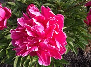 Everything Originals - Bright Pink Peony by Elisabeth Ann