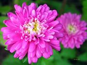 Bright Pink Zinnia Flowers Print by Christina Rollo