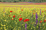 Delphinium Photos - Bright Rapeseed field with poppies and Delphiniums by Kiril Stanchev