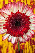 Floral Photos - Bright Red And White Mum by Garry Gay