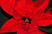 Bryan Wenham-Baker - Bright Red Poinsettia