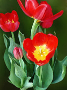 Gardeners Posters - Bright Red Tulips Poster by Susan Savad