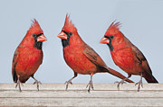 Male Cardinals Posters - Bright Trio Poster by Bonnie Barry