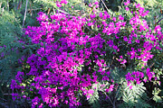 Moorea Photos - Bright Violet Boganvia Blossoms by Linda Phelps