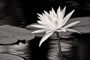 Water Lily Leaves Framed Prints - Bright Water Lily BW Framed Print by Linda Phelps