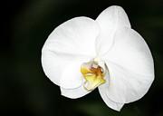 Sabrina L Ryan - Bright White Orchid