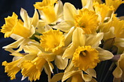 Nature - Bright Yellow Daffodils by Lynn-Marie Gildersleeve