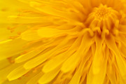 Fine Photography Art Digital Art Prints - Bright Yellow Dandelion Flower Print by Natalie Kinnear